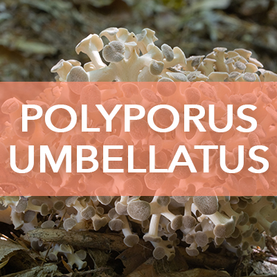 Polyporus Umbellatus Avd Reform
